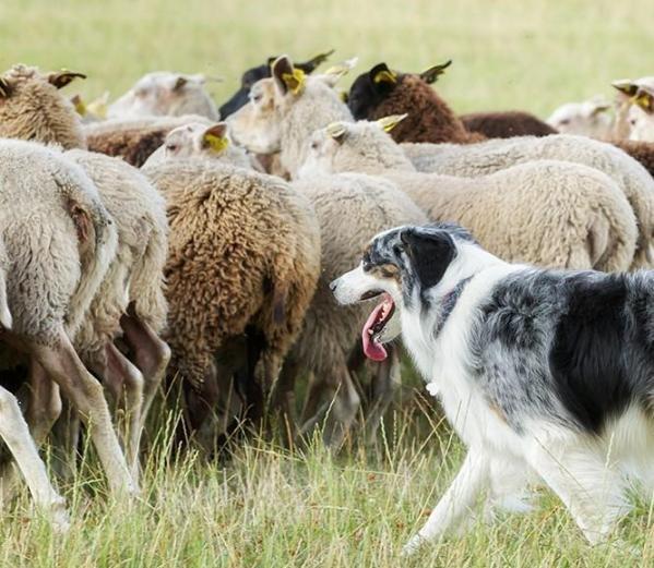 Chien de berger et ses moutons